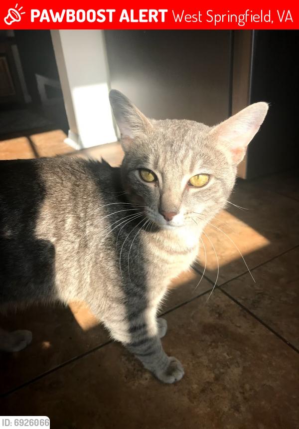 Lost Male Cat last seen Greeley Blvd, Gormley Pl,, West Springfield, VA 22152