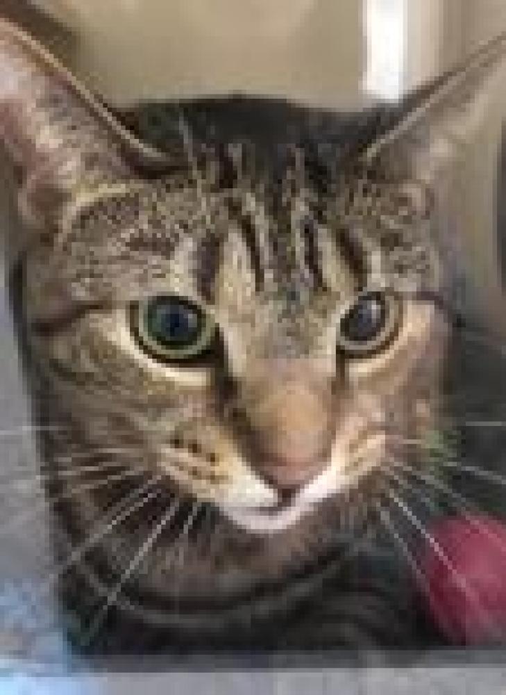Shelter Stray Female Cat last seen Burke, VA 22015, Fairfax, VA 22032