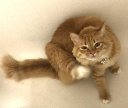 Lost Female Cat last seen Little Rocky Run, Clarendon Springs place, Centreville, Centreville, VA 20121