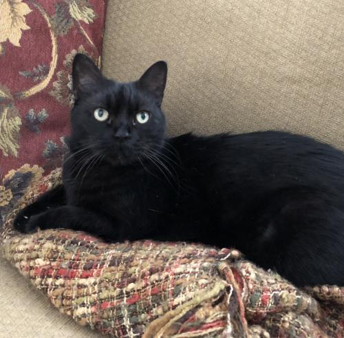 Lost Male Cat last seen Long Parrish Way, Chesapeake, VA 23320