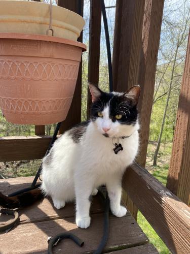 Lost Male Cat last seen creek run, green trails, palisades drive , Centreville, VA 20121