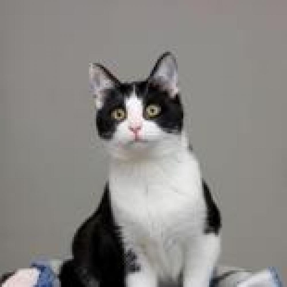 Shelter Stray Male Cat last seen Avon Lake, OH 44012, Parma, OH 44129