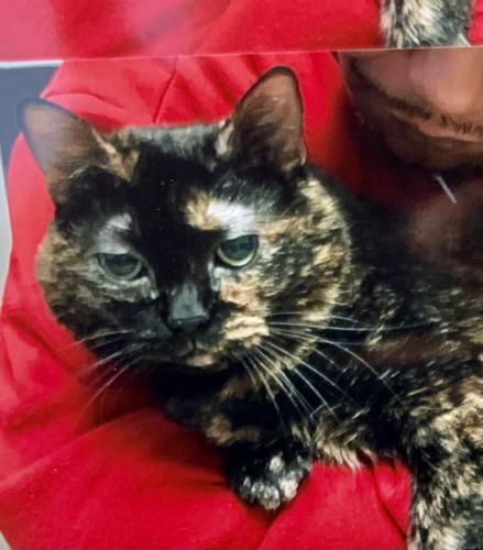 Lost Female Cat last seen Route 4 and Worthington , Germantown, OH 45327