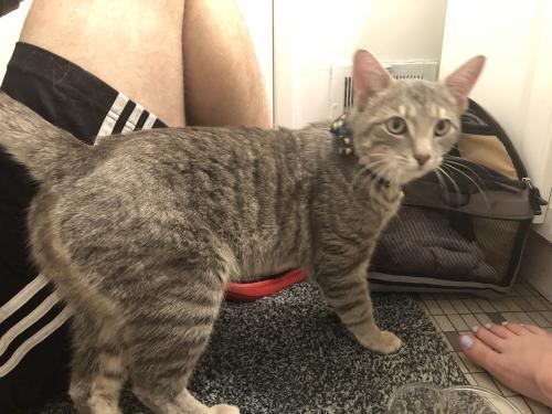 Lost Male Cat last seen Alberta and greely, West Springfield, VA 22152