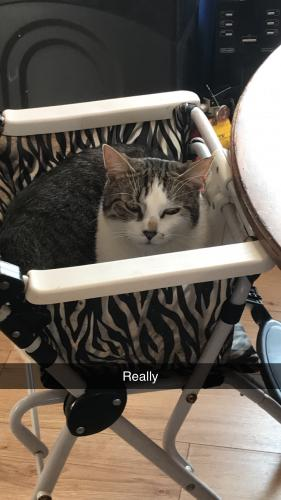 Lost Male Cat last seen Presidential Apartments on Trapenhagen Rd and Route 241, Jackson Township, OH 44646