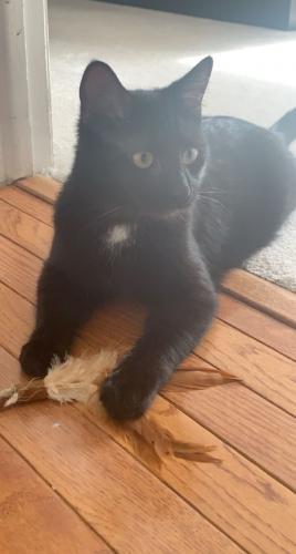 Lost Male Cat last seen War Admiral St Great Falls (near Turner Farms area), Great Falls, VA 22066