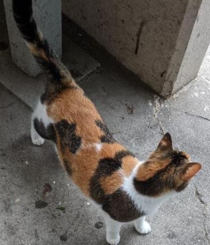 Found/Stray Female Cat last seen Jones Rd & Saathoff Dr in shopping plaza, Harris County, TX 77070