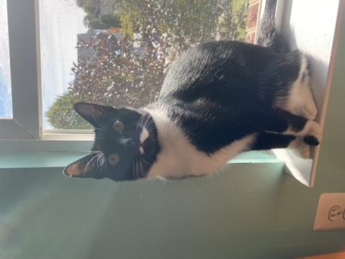 Lost Female Cat last seen The neighborhood behind Harris teeter, Nokesville, VA 20181