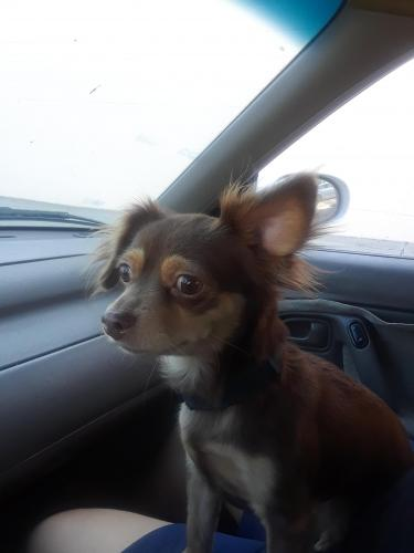 Lost Female Dog last seen Chandler and Lankershim, Los Angeles, CA 91601
