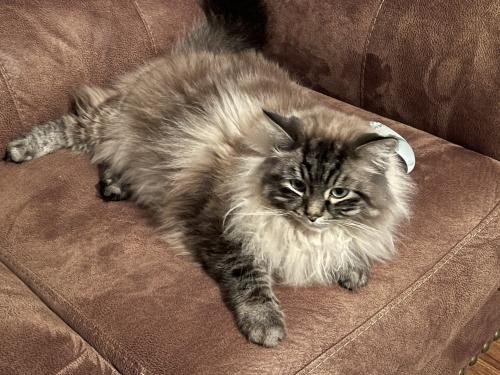 Lost Male Cat last seen Jamestowne drive , Virginia Beach, VA 23464