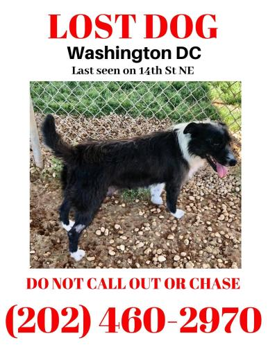 Lost Female Dog last seen 14th st nw, Washington, D.C., DC 20011