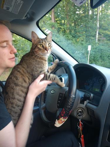 Lost Male Cat last seen Lake Braddock Secondary School, Burke, VA 22015