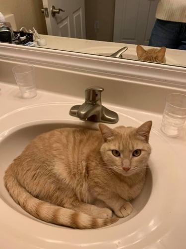 Lost Male Cat last seen Route 123 and Chapel Road, Fairfax, VA 22032