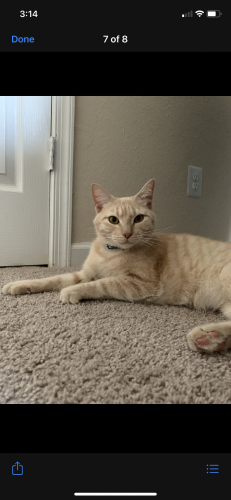 Lost Male Cat last seen INTERSECTION OF 123 and CHAPEL ROAD, Fairfax Station, VA 22039