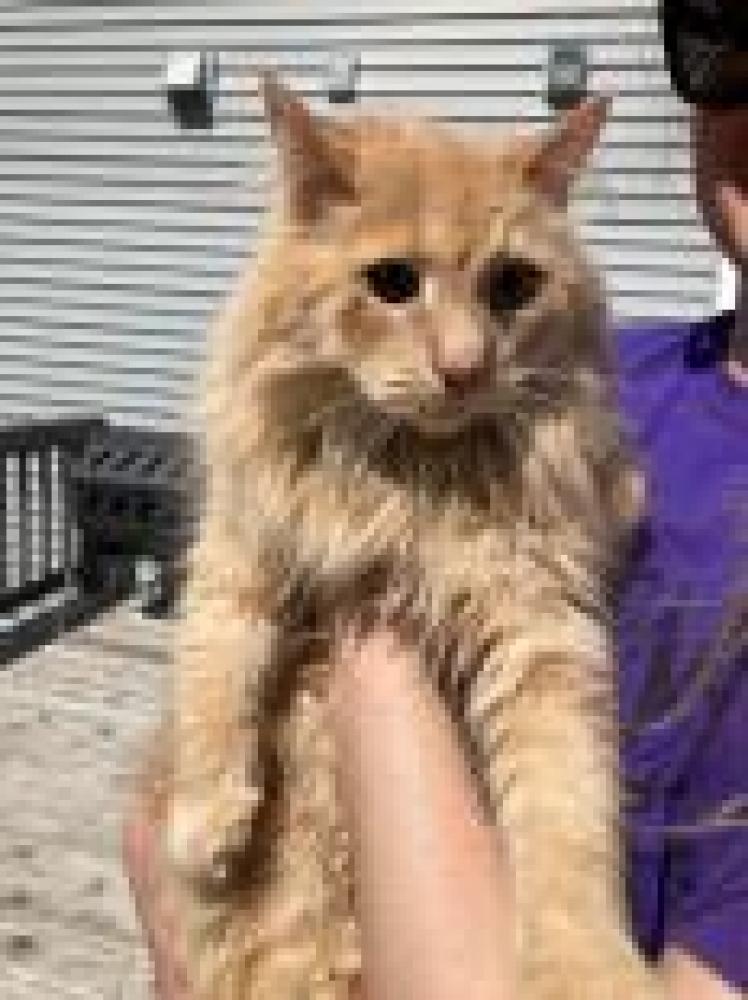 Shelter Stray Unknown Cat last seen Reston, VA 20191, Fairfax, VA 22032