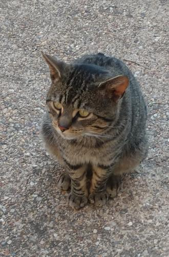 Found/Stray Male Cat last seen Windover Ave NW Vienna behind 7-11 and Italian Deli., Vienna, VA 22180