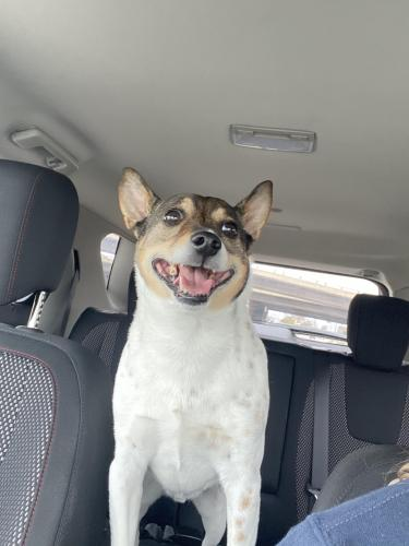 Found/Stray Male Dog last seen Broadway by kohl's , Rochester, MN 55902