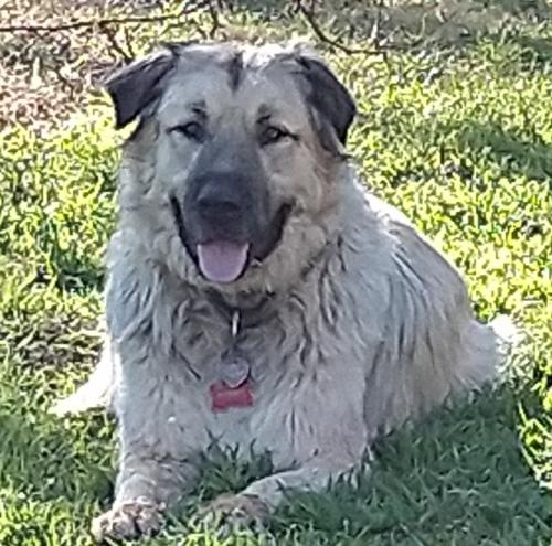 Lost Male Dog last seen Rogers Bridge and E Victor Hill Rd Duncan, Spartanburg County, SC 29334