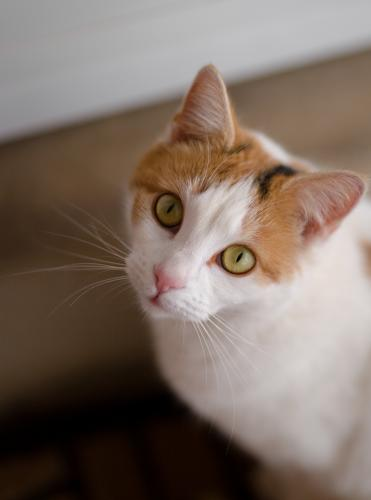 Lost Female Cat last seen Between Hoee Rd and Old Church Rd, Bristow, VA 20136