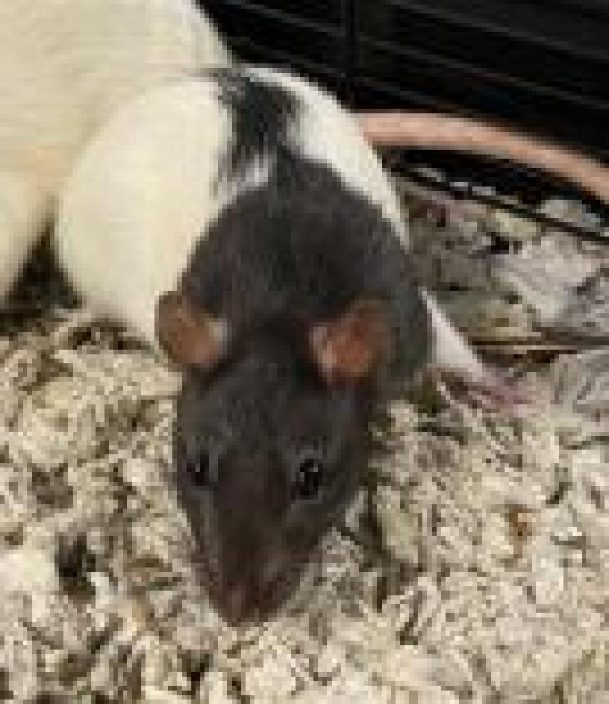 Shelter Stray Female Rat last seen West Springfield, VA 22151, Fairfax, VA 22032