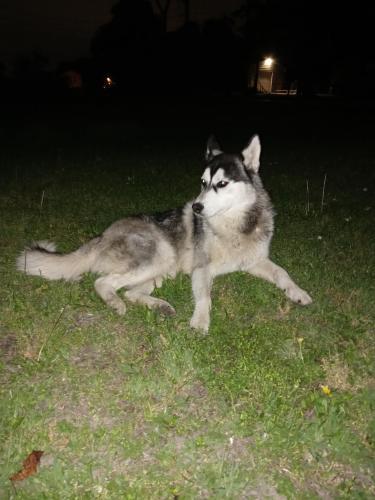 Found/Stray Male Dog last seen Bammel, Houston, TX 77068