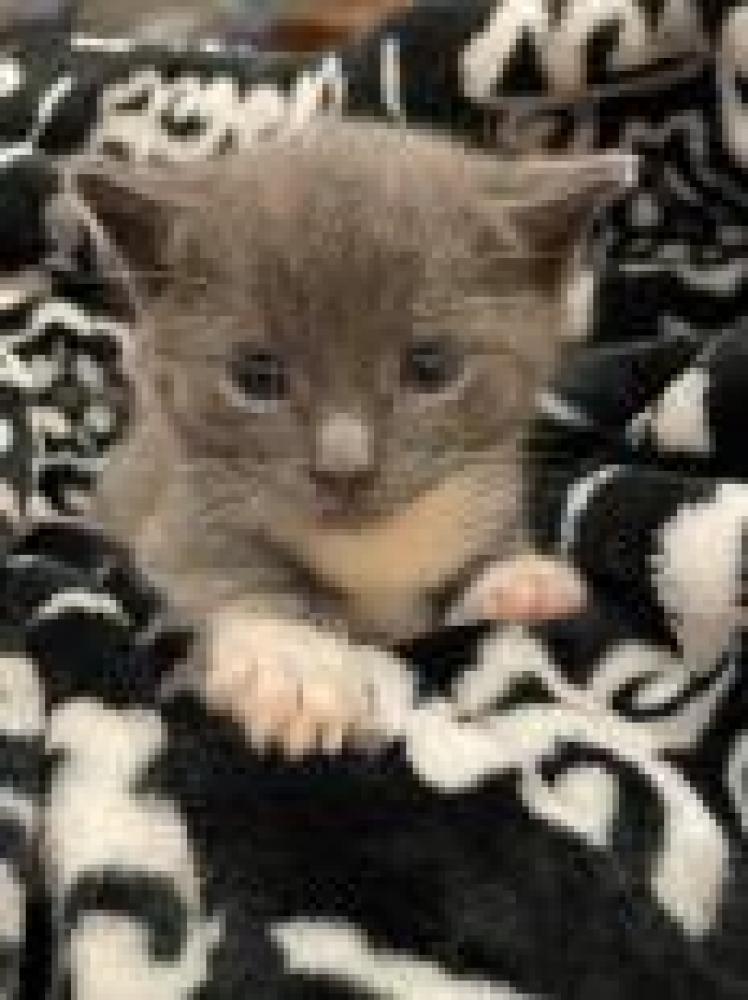 Shelter Stray Female Cat last seen Vienna, VA 22180, Fairfax, VA 22032