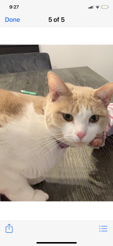 Lost Female Cat last seen Creekside forest green and smooth stream, Harris County, TX 77375
