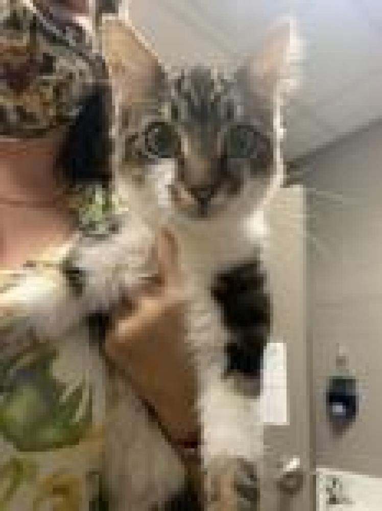 Shelter Stray Female Cat last seen Anderson, SC 29624, Anderson, SC 29622