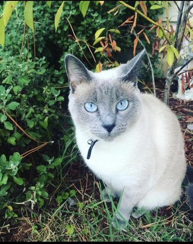 Lost Female Cat last seen Foxwoods and loblolly , Virginia Beach, VA 23462