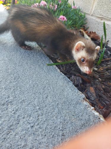 Lost Male Ferret last seen Logans Mill Trail , Chesapeake, VA 23320