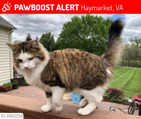 Lost Male Cat last seen Near and shelter lane, Haymarket, VA 20169