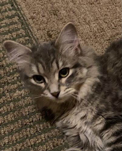 Found/Stray Female Cat last seen Folwell Ridge St SW Rochester, MN 55902, Rochester, MN 55902