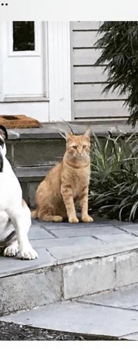 Lost Male Cat last seen Cassia St. Dranesville , Dranesville, VA 20170