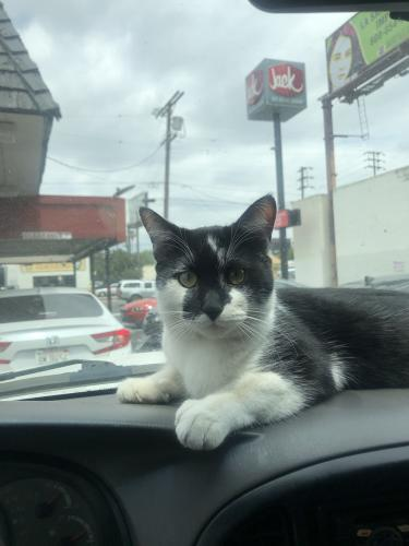 Lost Male Cat last seen Near lull st, Los Angeles, CA 91306