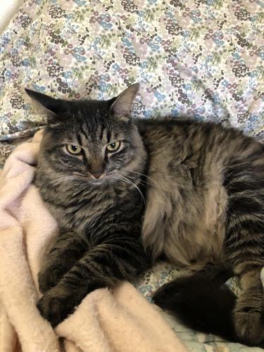 Lost Male Cat last seen High Country & Woodfield, Arlington, TX 76016