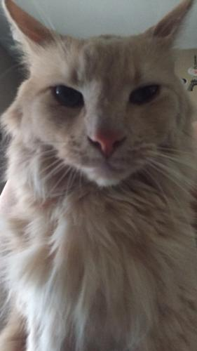 Lost Male Cat last seen Ellsworth and Ellis st, Maricopa County, AZ 85207