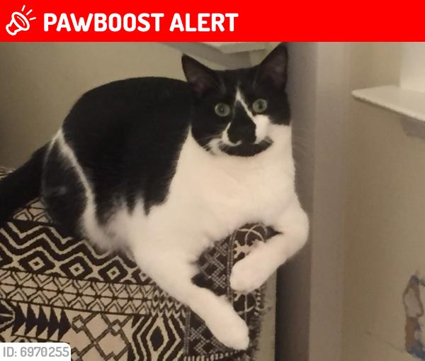 Lost Male Cat last seen Catlett St., North Springfield, VA 22151