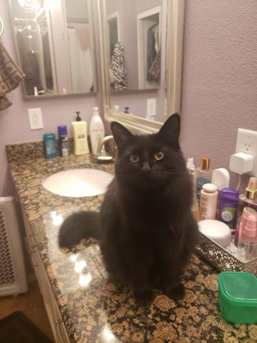 Lost Female Cat last seen Alma school and Guadalupe , Mesa, AZ 85210