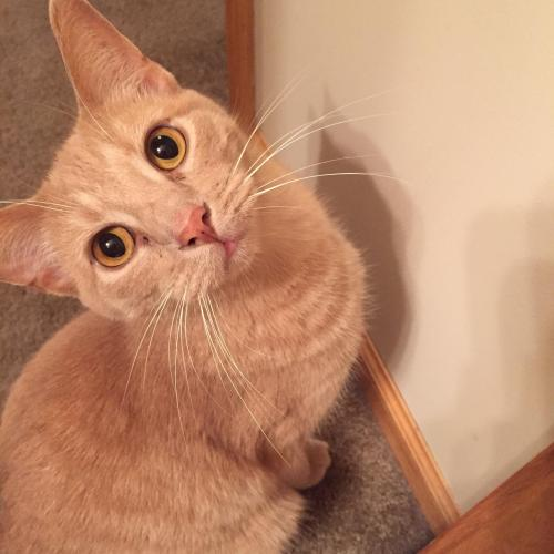 Lost Male Cat last seen South pointe drive, near Rochester airport , Rochester, MN 55902