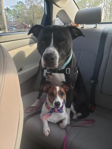 Lost Female Dog last seen College Park Blvd and Drew Dr., Virginia Beach, VA 23464