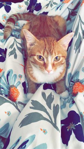 Lost Female Cat last seen Jordan creek apartments off of 41st street NW, Rochester, MN 55901