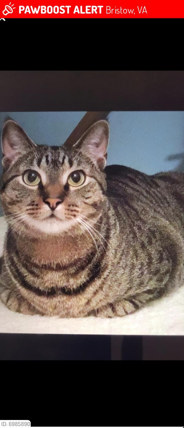 Lost Male Cat last seen Rumsey ct., Bristow, VA 20136