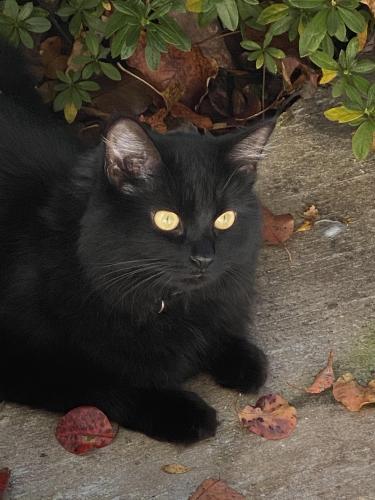 Lost Female Cat last seen Gassaway Lane, Germantown, MD 20874