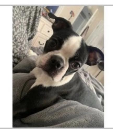 Lost Female Dog last seen Tudor Street, palisades Ave - near Harding High School. , Bridgeport, CT 06610
