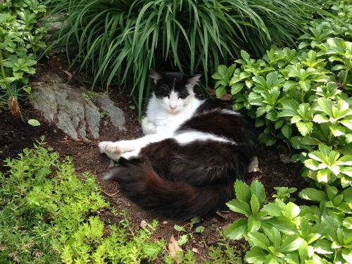 Lost Male Cat last seen Hillside Lake , Wappingers Falls, NY 12590