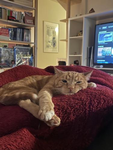 Lost Female Cat last seen Maiden Ln & New York Dr, Altadena, CA 91001
