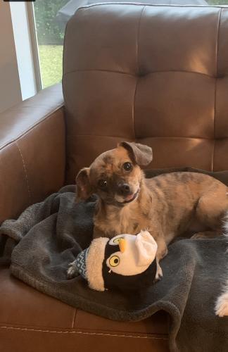 Lost Female Dog last seen My Way , Alvin, TX 77511