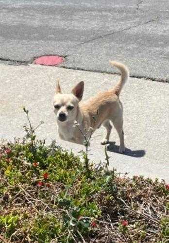 Lost Female Dog last seen Garvey Ave, Valley Blvd, Durkee Ave., El Monte, CA 91732