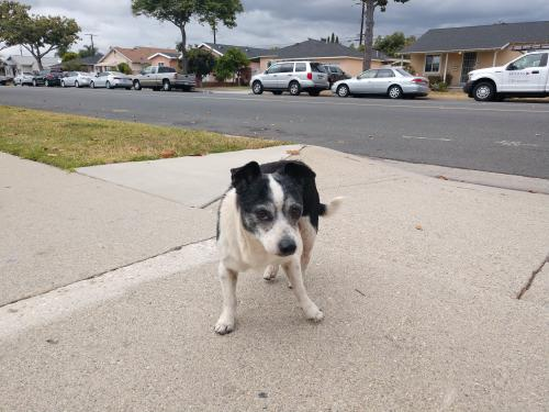 Found/Stray Male Dog last seen Elaine and Excelsior dr, Norwalk, CA 90650