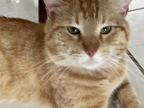 Lost Male Cat last seen Elk Point and Rio Grande, Houston, TX 77064